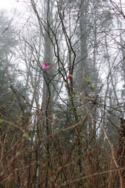 Salmonberry shrubs offer amazing fruit but also edible flowers and buds!