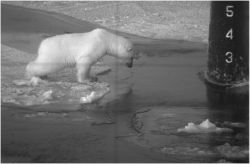 A picture from a document in hacked Mantech files. That's a polar bear facing off against an attack submarine.