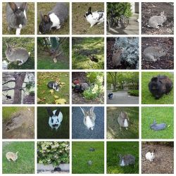 most of these rabbits were killed this May by UVic