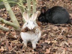 rabbits at risk in wooded area at UVic