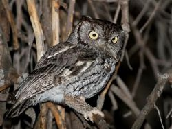 adult Western Screech Owl, endangered species, resident of Surrey