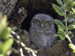 Baby Western Screech Owl - resident of Surrey