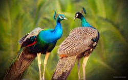Pair of peacocks