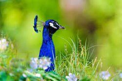 Peacock enjoying the summer day