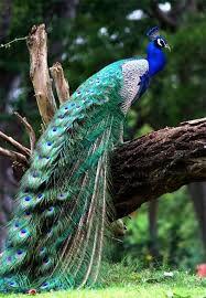 Peacock on tree stump
