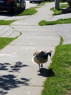 peahen walking