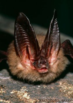 Townsend's Big-eared Bat - resident of Surrey