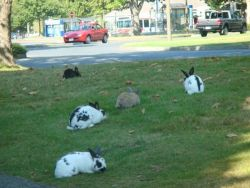 rabbits at risk in grassy area at UVic