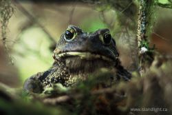 Western Toads