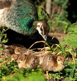 peahen and chicks